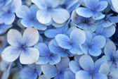 Blue Flowers — Stockfoto