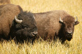 Bison Lovers — 图库照片