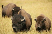 Bison Lovers Together — 图库照片