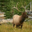 Bull Elk in Yellowstone - Stock Photo