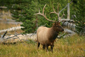 Bull Elk in Yellowstone — 图库照片
