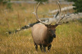Male Elk of Yellowstone — Stock Photo