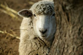 Peekaboo Sheep — Stockfoto