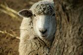 Peekaboo Sheep — Stock Photo