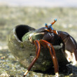 Brave Hermit Crab - Stock Photo