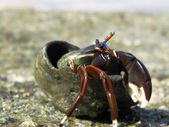Brave Hermit Crab — Stock Photo