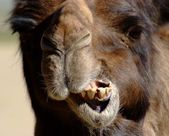Camel chew,close face — Stock Photo