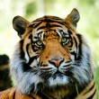 Stock Photo: Tiger