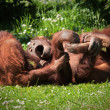 2 Orangutans at play — Stock Photo