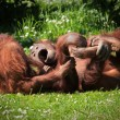 2 Orangutans at play — Stock Photo #3043245