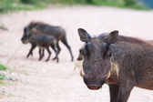 Warthogs — Stock Photo