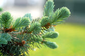 Branch ate with long pine — Stock Photo