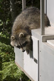 Raccoon — Stock Photo
