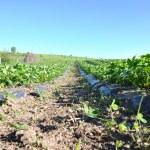 プランダージュ地区 strawberrys の — ストック写真