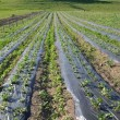 Plantage of strawberrys — Stockfoto