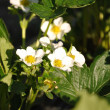 Strawberry flowers — Photo