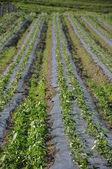 Plantage of strawberrys — Stock Photo