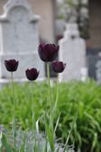 Black tulips at the cemetery — Stock Photo
