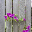 Rhododendron flowers and an old fence — Stock Photo #3060647