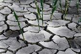 Reeds growing through cracks — Stock Photo
