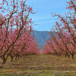 Peach Orchard — Stock Photo