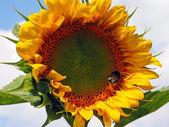 Подсолнух и пчела — Stock Photo