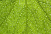 Poison ivy leaf close-up — Stock Photo