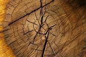 Tree trunk cross section — Stock Photo