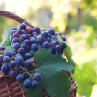 Freshly harvested grapes — Stock Photo