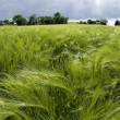 Field of green wheat in spring — Stock fotografie