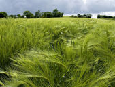 Field of green wheat in spring — Stock Photo