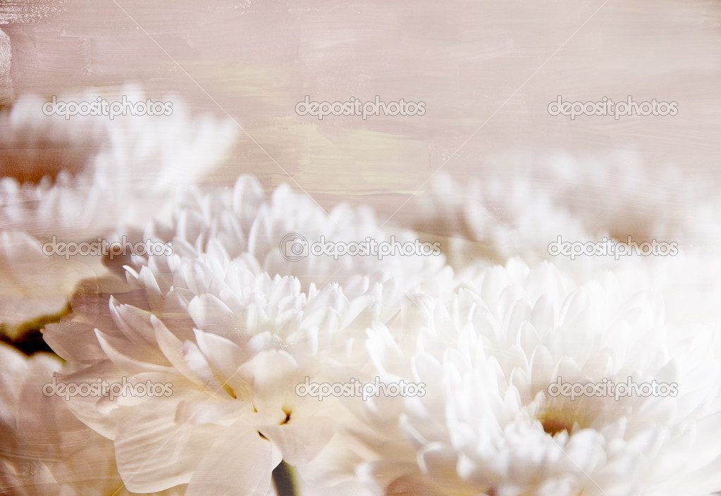 Decorative white chrysanthemums for wallpaper or background  Stock Photo #3073077
