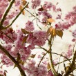 Cherry flowers in spring - close-up for decorative background - Stock Photo