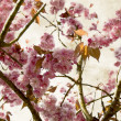 Cherry flowers in spring - close-up for decorative background - ストック写真