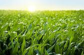 Pola kukurydzy w zachód słońca - kukurydza — Zdjęcie stockowe