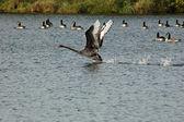 Black Swan,(Cygnus Atratus) — Stock Photo