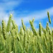 Foto Stock: Green wheat.