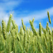 Stock Photo: Green wheat.