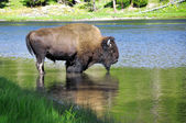 Buffalo drinking water — Stock Photo