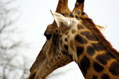 Giraffe protrait — Stock Photo