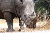 Rhino portrait — Stock Photo