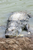 Crocodile portrait — Stock Photo