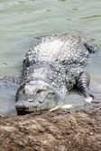 Crocodile portrait — Stock Photo