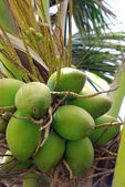 Coconut tree 2 — Stock Photo