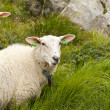 Two sheeps in the Ulriken mountain — Stock Photo