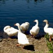 Ducks on lake — Stock Photo #3251611
