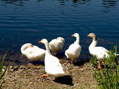 Ducks on the lake — Stock Photo