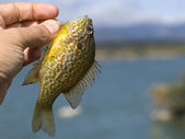 Little Sunfish — Stock Photo
