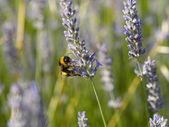 Bumblebee working — Stock Photo