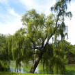 Weeping Willow in Central Park — Stock Photo #3849621